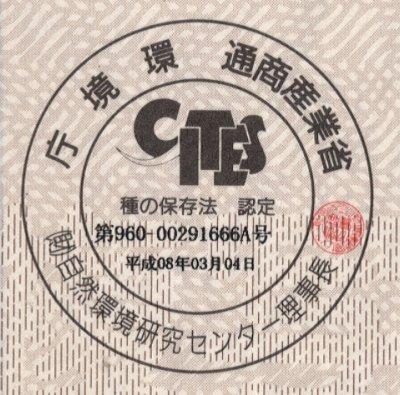 画像2: 銀行印・認印 本象牙印鑑【極上】10.5mm丸
